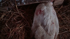 Hand plucking feathers from the goose carcasses close-up Stock Footage