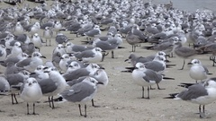 Laughing Gulls on the beach at Homosassa, Florida Stock Footage