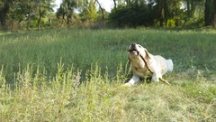Labrador or golden retriever eating wooden stick outdoor. Close up Stock Footage