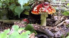 Toadstools in the woods under the leaves Stock Footage