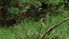 Blackcap (Sylvia atricapilla) singing Stock Footage