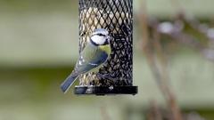 Blue tits on a bird feeder Stock Footage
