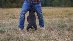Man who trains the dog breed Staffordshire Bull Terrier Stock Footage