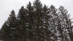 Big spruce (tree) on a cloudy winter day Stock Footage