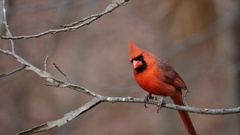 The northern cardinal is a North American bird in the genus Cardinalis. Stock Footage