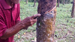Traditional way rubber tapper extract milky latex from rubber tree Stock Footage
