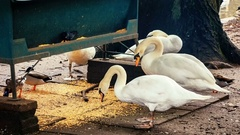Swans and ducks eating grains near the canal. Bruges, Belgium. 4k Stock Footage