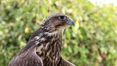 Young Peregrine falcon. Falco peregrinus. Bird of prey Stock Footage