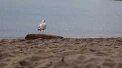 One seagull sandy beach ocean Stock Footage