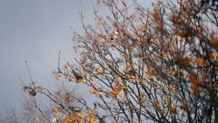 Waxwings Feeding on a Rohan Mountain Ash Tree Stock Footage