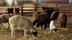 Sheep . Breeding Lambs on the Farm . Sheep and Lambs are in the Sheepfold Stock Footage