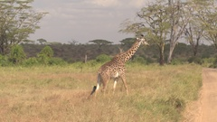 CLOSE UP: Adorable African giraffe in wilderness crossing dusty safari road Stock Footage