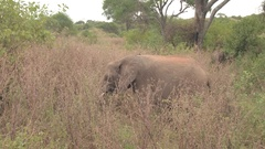 CLOSE UP: Safari elephant hiding in tall grass and feeding in natural habitat Stock Footage