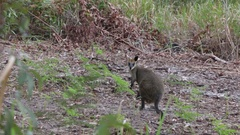 Attentive wallaby on Fraser Island Stock Footage