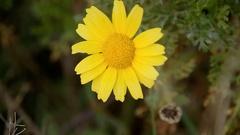 Daisy flower tiny hand tear off Stock Footage