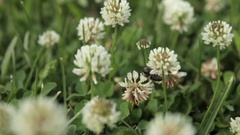 Working bee. Bee flying over the clover. Stock Footage