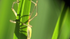 Insect Sac Yellow Spider Cheiracanthium mildei sitting on green leaf on field 4k Stock Footage