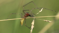 Insect Sac Yellow Spider Cheiracanthium mildei sitting on horizontal branch 4k Stock Footage