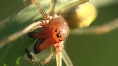 Eight eyes Insect Sac Yellow Spider Cheiracanthium mildei sitting on leaf 4k Stock Footage