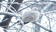 Turtledove on branch while snowing in winter time Stock Footage