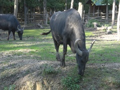 Buffalo in the yard  in the zoo ,Subotica in Serbia Stock Footage