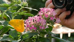 4K  Photographer taking picture of butterfly pollinating flower pollen Stock Footage