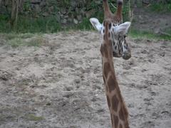 Giraffe ,Giraffa camelopardalis   in the zoo ,Subotica in Serbia Stock Footage