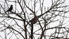 Blackbird and owl on tree Stock Footage