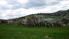 Flowery cherry orchard Stock Footage