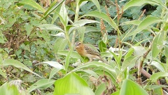 Baya weaver (Ploceus philippinus) in nature. Stock Footage