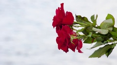 A bouquet of roses in hands on a background of water. Stock Footage