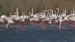 Pink flamingos in the pond Stock Footage