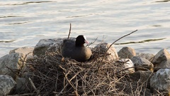 Cute young eurasian coot chick making its way to the nest Stock Footage
