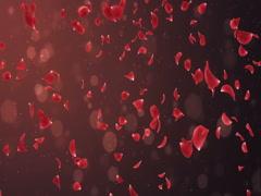Flying Romantic Dark Red Rose Flower Petals Falling Background Loop 4k Stock Footage
