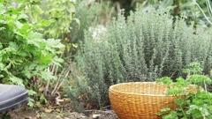 Harvesting fresh thyme Stock Footage