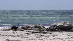 Rare shot of an Ostrich bird at the Ocean Stock Footage