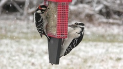 Hairy Woodpecker (Picoides villosus) and Downy Woodpecker (Picoides pubescens) Stock Footage