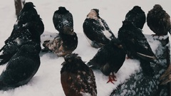 Many frozen pigeons sitting on a snowy trash box Stock Footage