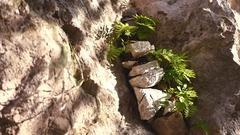 Wild fern on the rock Stock Footage