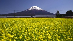 Mount Fuji and rapeseed flower field, Shizuoka Prefecture, Japan Stock Footage