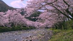 Cherry blossom at a river in Izu, Shizuoka Prefecture, Japan Stock Footage