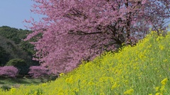Blooming cherry blossoms, Japan Stock Footage
