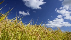 Rice ears and blue sky Stock Footage