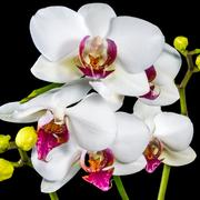 Beautiful branches white and red orchid flower (phalaenopsis) with bud is  .. Stock Photos