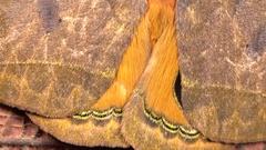 Saturniid moth (Automeris argentifera) Stock Footage