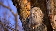 Ural Owl, Hokkaido, Japan Stock Footage