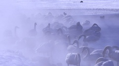 Swans in a lake in Winter, Hokkaido, Japan Stock Footage