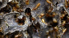 Slow motion shot of Nasute Termites defending a break in their nest.  Stock Footage