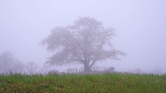 Cherry tree in the fog, Iwate Prefecture, Japan Stock Footage