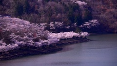 Blooming cherry blossoms at Oi Dam,  Gifu Prefecture, Japan Stock Footage